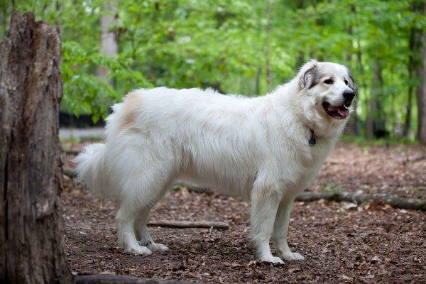 razas-de-perro-latinoamericanos-mucuchies