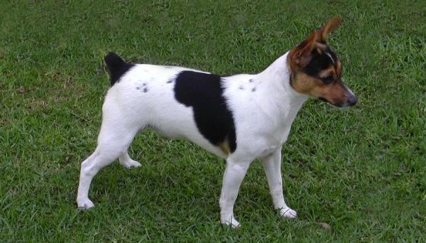 razas-de-perro-tenterfield-terrier