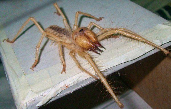 las-10-aranas-venenosas-mas-peligrosas-del-mundo-araña-camello