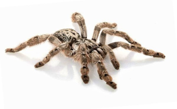 las-10-aranas-venenosas-mas-peligrosas-del-mundo-tarantula-arbol-india