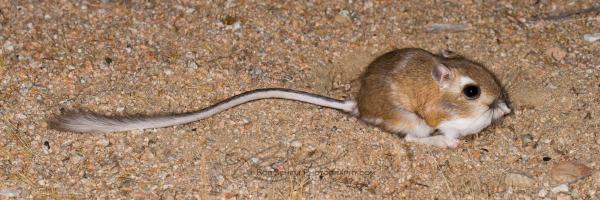 Panamint Kangaroo Rat (Dipodomys panamintinus)
