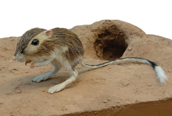 rata-canguro-habitat-madriguera