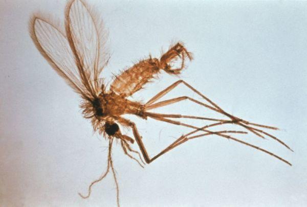 mosquito leishmaniosis