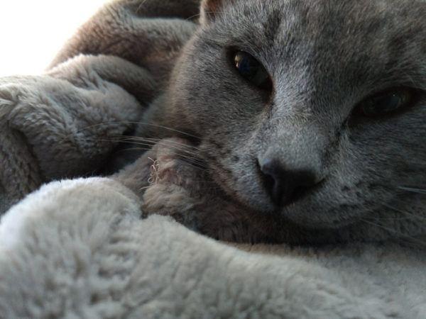 Mascotas hipoalergnicas azul ruso