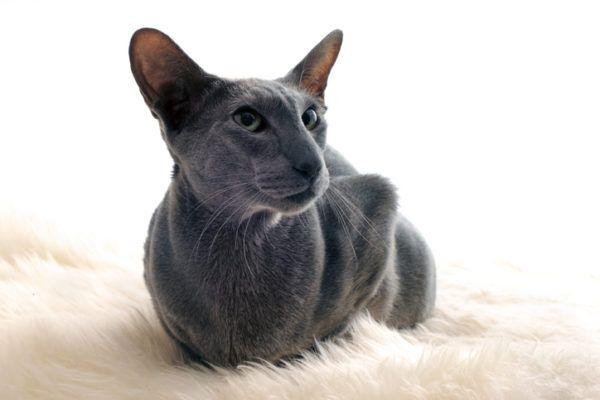 Mascotas hipoalergnicas oriental