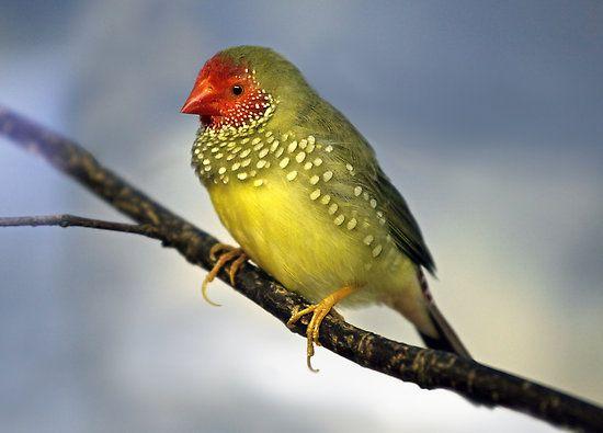 Pájaro Tropical Diamante Ruficauda