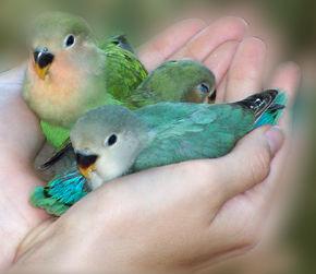 pajaros-tropicales-y-aves-exoticas-agapornis-compañeros