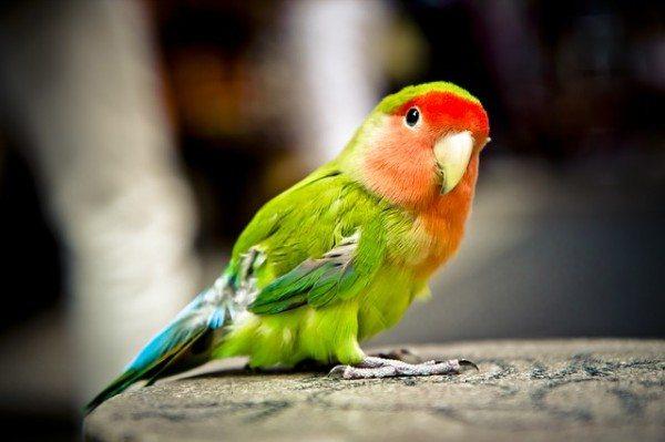 pajaros-tropicales-y-aves-exoticas-agapornis-posando