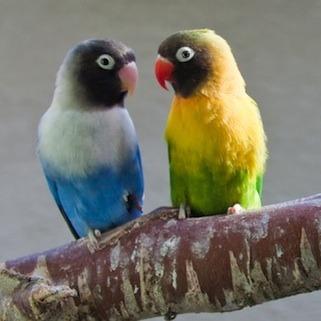 pajaros-tropicales-y-aves-exoticas-agapornis