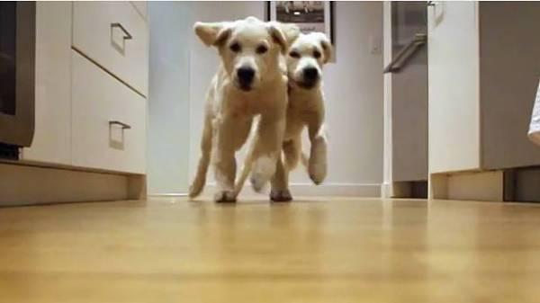 perros corriendo por comida