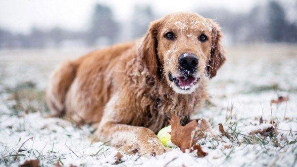 infecciones-urinarias-perros-perros-propensos