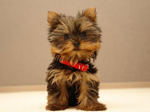 cortes-de-pelo-para-perros-2016-Corte-cachorro