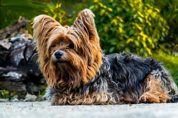 cortes-de-pelo-para-perros-2016-Corte-pequines