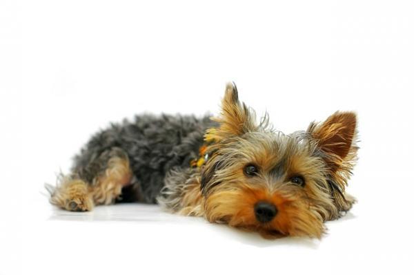 cortes-de-pelo-para-perros-2016-Corte-westy