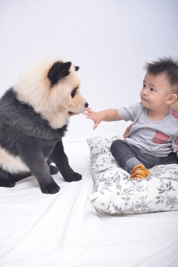 la-gran-moda-de-los-perros-panda-en-china-pandog-bebe