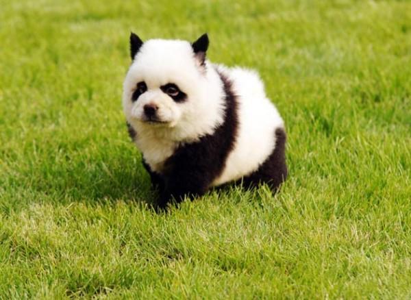 la-gran-moda-de-los-perros-panda-en-china-pintura