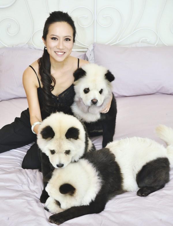 la-gran-moda-de-los-perros-panda-en-china-posando