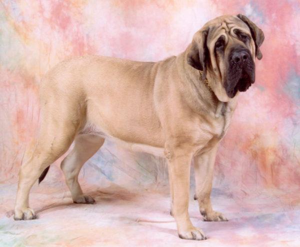 Lista de los 10 perros mas peligrosos de espana Mastín Inglés