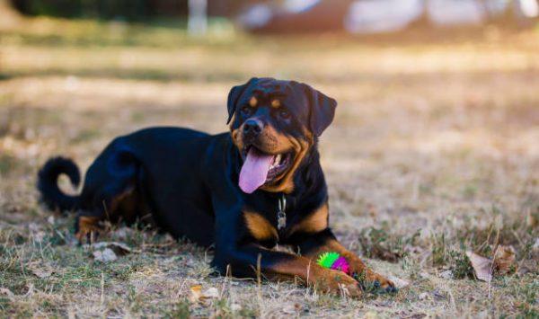 Lista de los 10 perros mas peligrosos de espana Rottweiler