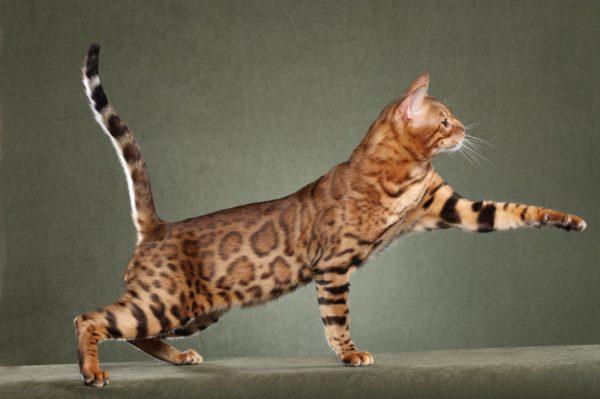 las-10-mejores-mascotas-exoticas-de-moda-gato-bengala