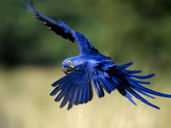 las-10-mejores-mascotas-exoticas-de-moda-guacamayo-azul