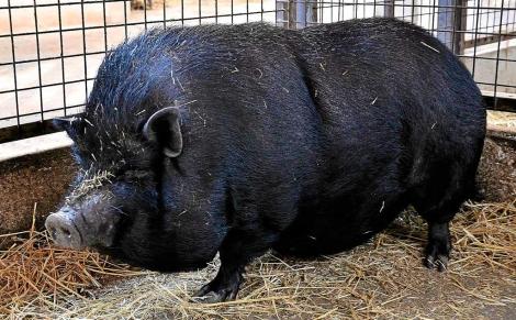 Cerdo Vietnamita adulto