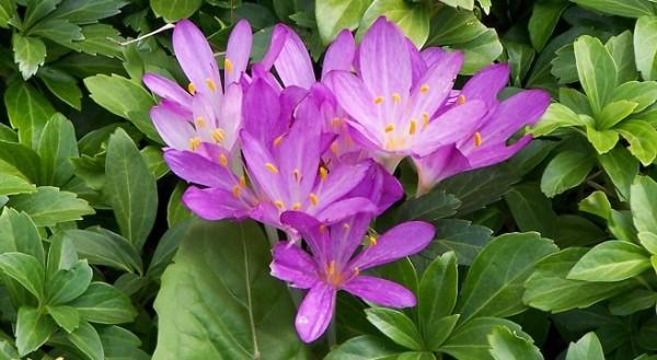conoce-las-plantas-venenosas-para-perros-narciso-de-otoño
