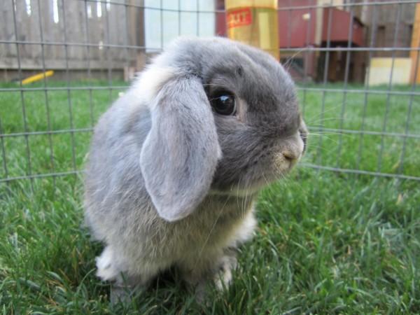 como-es-el-conejo-belier-habitat