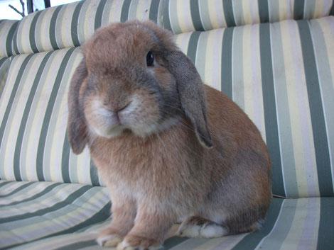 conejo-belier-cuidados