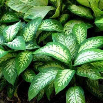 conoce-las-plantas-venenosas-para-perros-difenbaquia
