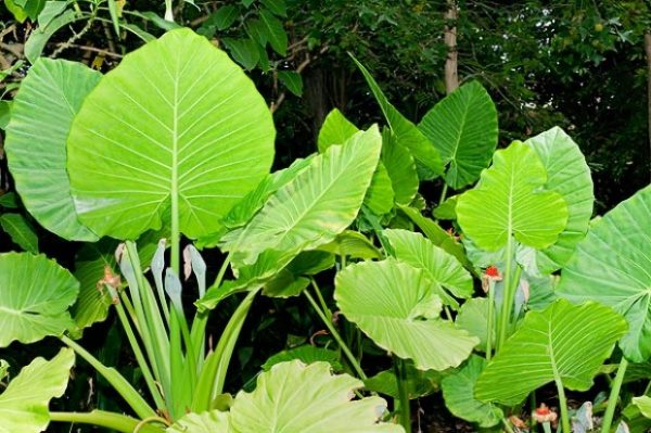 conoce-las-plantas-venenosas-para-perros-oreja-de-elefante