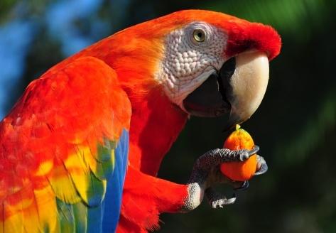 pajaros-tropicales-aves-exoticas-guacamayo-rojo-comiendo
