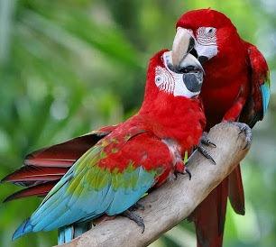 pajaros-tropicales-aves-exoticas-guacamayo-rojo-pareja