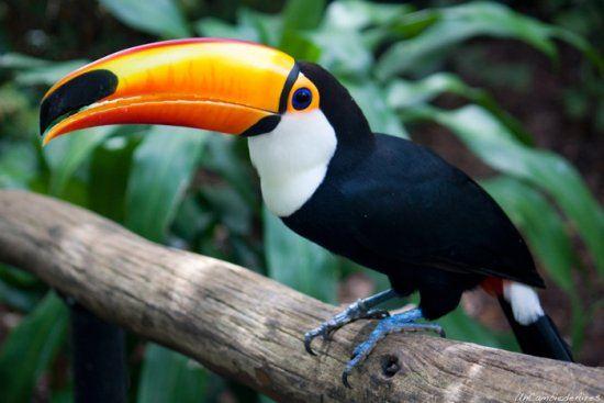 pajaros-tropicales-aves-exoticas-tucan-pico-naranja