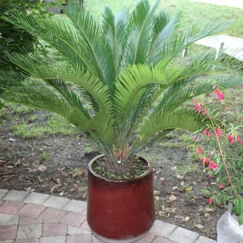 conoce-las-plantas-venenosas-para-perros-palmera-sagu