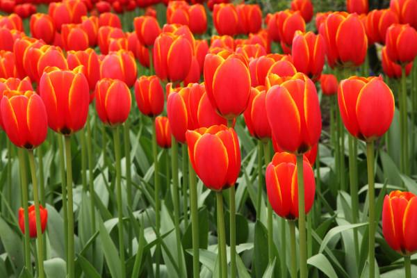 conoce-las-plantas-venenosas-para-perros-tulipan