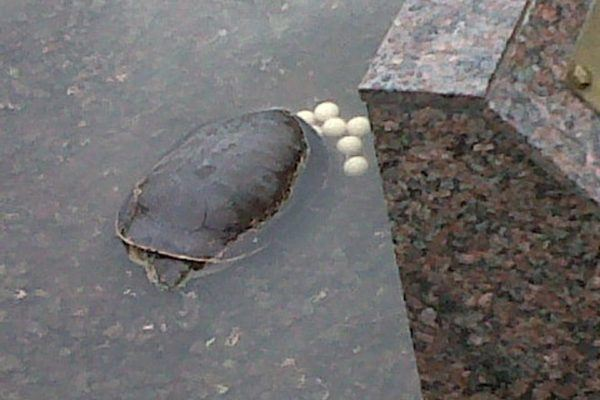 cuidados-de-las-tortugas-huevos
