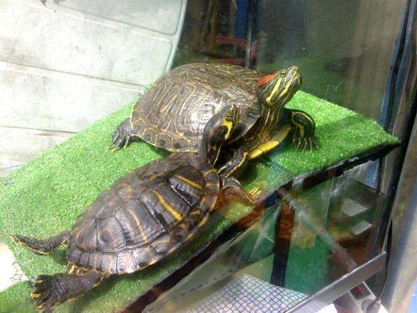 cuidados-de-las-tortugas-tomando-sol
