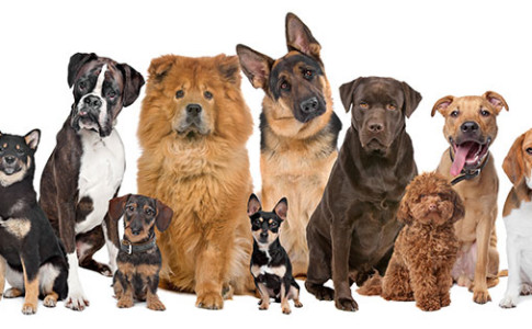 gusanos-del-corazon-parasitos-en-perros-perros