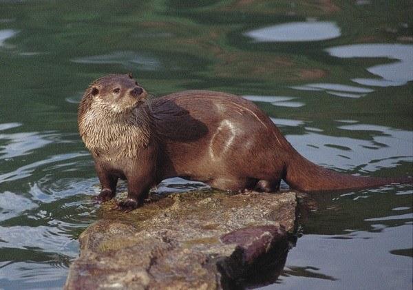 animales-marinos-nutria-marina-peligro-de-extincion