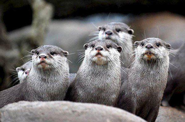 animales-marinos-nutria-marina