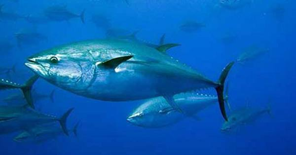 animales-marinos-salmon-real-peligro-de-extincion