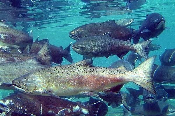 animales-marinos-salmon-real