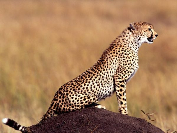 guepardos-acechando