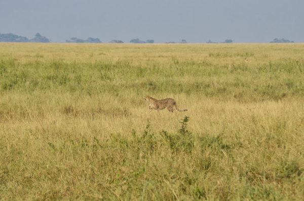 guepardos-acechando-b