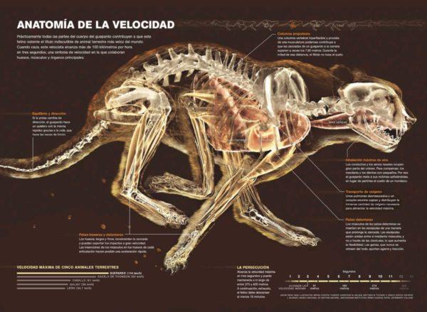 guepardos-anatomia