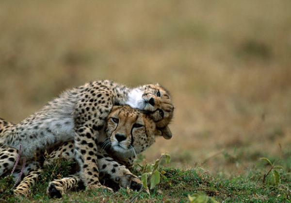 guepardos-apareamiento-2