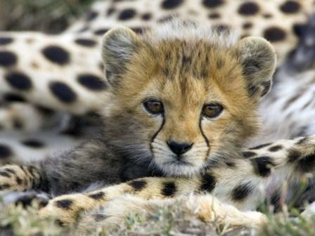 guepardos-cachorro