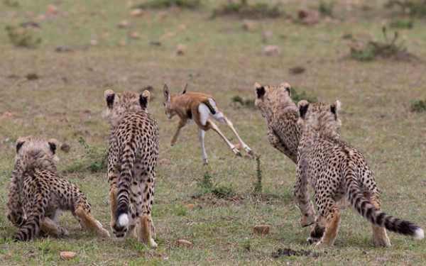 guepardos-cachorros-cazando