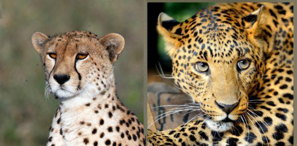 guepardos-diferencias